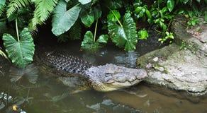 krokodyla lying on the beach woda Zdjęcia Stock