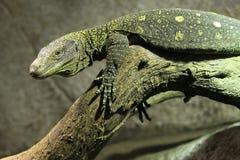 Krokodyla monitor obrazy royalty free