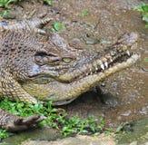 Krokodyla polowanie w kamuflażu Obrazy Royalty Free