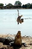 krokodyla posiłek Zdjęcia Royalty Free
