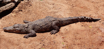 Krokodyla słońca skąpanie Zdjęcia Stock
