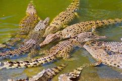 krokodyla saltwater zdjęcie royalty free