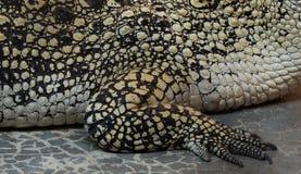 Krokodyla saltwater skóra Res obrazy royalty free