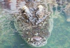 Krokodyla saltwater Tajlandia Obraz Royalty Free
