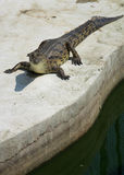 Krokodyla saltwater Tajlandia Zdjęcie Stock