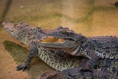 Krokodyla saltwater Tajlandia Obrazy Royalty Free