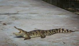 Krokodyla saltwater Tajlandia Fotografia Royalty Free