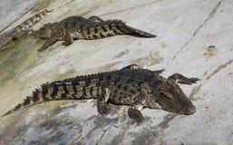 Krokodyla saltwater Tajlandia Obraz Stock
