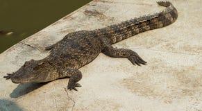 Krokodyla saltwater Tajlandia Res zdjęcia royalty free