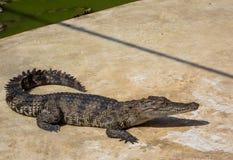 Krokodyla saltwater Tajlandia zoo Fotografia Royalty Free