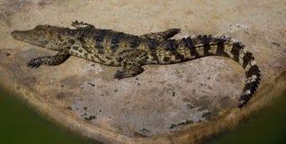 Krokodyla saltwater Tajlandia zoo Zdjęcie Royalty Free
