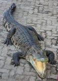 Krokodyla saltwater Tajlandia zoo Zdjęcia Stock