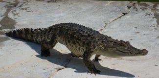 Krokodyla saltwater Tajlandia zoo Obraz Stock