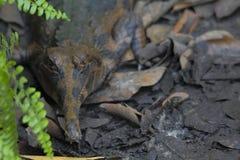 Krokodyla senyulong tomistoma schlegelii obraz stock
