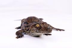 krokodyla target1066_0_ Zdjęcia Royalty Free