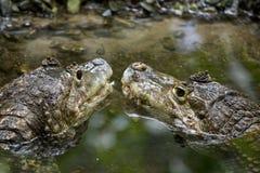 Krokodyla uśmiech zdjęcie royalty free