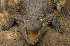 Krokodyla uśmiech Zdjęcia Royalty Free