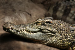 Krokodyla zbliżenie Zdjęcia Royalty Free