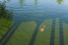 krokodyla zieleni woda Zdjęcie Royalty Free