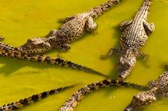 krokodyle Obrazy Royalty Free