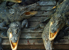 krokodyle Zdjęcie Stock