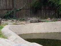 krokodyle Obrazy Stock