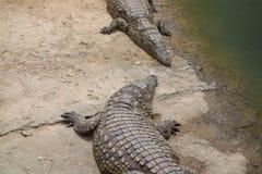 Krokodyle, aligatory w Maroko Krokodyla gospodarstwo rolne w Agadir Obraz Stock