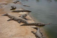 Krokodyle, aligatory w Maroko Krokodyla gospodarstwo rolne w Agadir Obrazy Royalty Free