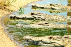 Krokodyle - Kariba jezioro, Zimbabwe Zdjęcia Royalty Free