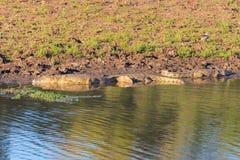 Krokodyle na brzeg rzeki Zdjęcie Stock
