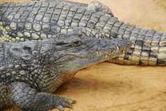 Krokodyle na piasku Obrazy Royalty Free
