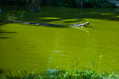 Krokodyle przy krokodyla gospodarstwem rolnym sarawak borneo Malezja Fotografia Royalty Free