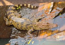 Krokodyle przy spławową wioską przy Tonle Aprosza jeziorem, Kambodża Zdjęcie Stock