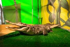 Krokodyle w niewoli Obrazy Royalty Free