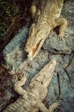Krokodyle W krokodyle Rolny Azja, Tajlandia obraz royalty free