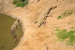 Krokodyle z rzędu Zdjęcie Royalty Free