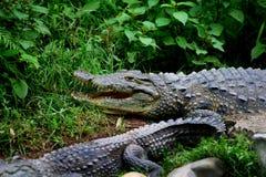 krokodyle ześrodkowywają miejskiego Chongqing krokodyla Zdjęcia Royalty Free