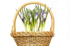 krokusów koszykowi kwiaty Zdjęcia Royalty Free