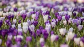 Krokusów kwiatów pole Obrazy Stock