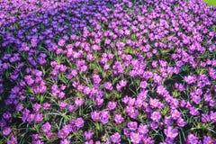 Krokusów kwiatów pole Obraz Royalty Free