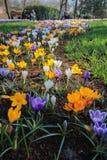 Krokusów kwiatów pole Zdjęcia Stock