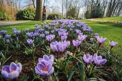 Krokusów kwiatów pole Zdjęcie Stock