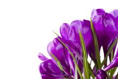 krokusów kwiaty Fotografia Royalty Free