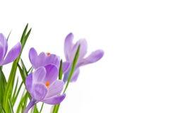 krokusów kwiaty Zdjęcie Royalty Free