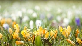 Krokusów kwiaty Obraz Stock
