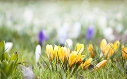 Krokusów kwiaty Fotografia Stock