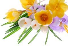 krokusów kwiaty zdjęcia royalty free