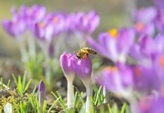 Krokusów kwiaty i Miodowa pszczoła Obraz Stock
