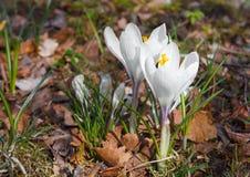 Krokusów kwiaty kwitnęli w ostatniego roku ` s liściach i trawie Zdjęcie Royalty Free