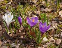 Krokusów kwiaty kwitnęli w ostatniego roku ` s liściach i trawie Zdjęcie Stock